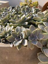 1 Plant Graptopetalum paraguayense  Succulent con raíces , With Roots