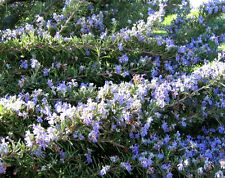 100 ROSEMARY Rosmarinus Officinalis Herb Flower Seeds