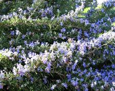 100 ROSEMARY Rosmarinus Officinalis Herb Flower Seeds
