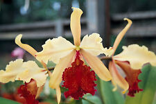"Awesome Cattleya dowiana var. aurea Select 2"" pot Species"
