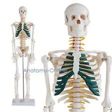 Modello dello scheletro con nervi spinali | 85cm | scheletro umano