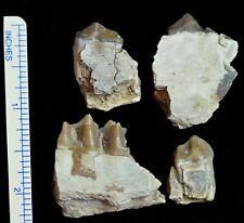Oreodont, Four Lower Tooth Fossils, Merycoidodon, Badlands, South Dakota, O1128
