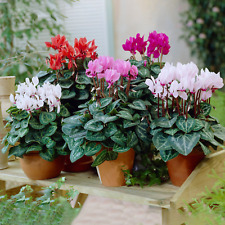 More details for cyclamen potted plants | vibrant large flowering tuberous perennial (9cm)