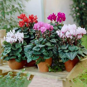 Cyclamen Potted Plants   Vibrant Large Flowering Tuberous Perennial (9cm)