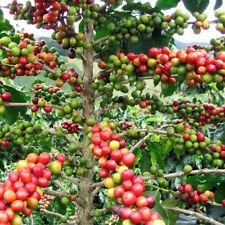 """Arabica Coffee Bean Live Plant 3"""" Pot Grow & Brew Indoor Outdoor Best Gift"""