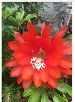 "Orchid Cactus Epiphyllum ""CLOCKWORK ORANGE"" 3 cuttings at 3"" to 6"" Huge Flowers"