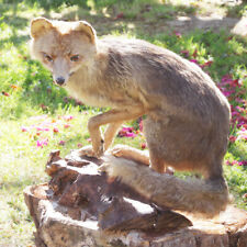 Taxidermie - renard naturalisé / empaillé vintage sur socle