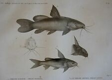 DESCRIPTION DE L'EGYPTE, (1825),POISSONS DU NIL, PIMELODE KARAFCHE, ..ABOUREAL..