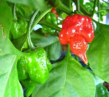 25 Organically Grown Trinidad Scorpion 7 Pot Butch T Hot Pepper Seeds-O 004