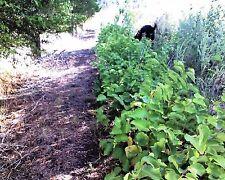 American Hazelnut Tree Corylus americana 1-2' Lot Of 4