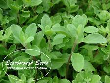 Scarborough Seeds Sweet Marjoram 500 Seeds - Heirloom, Herbs Fragrant
