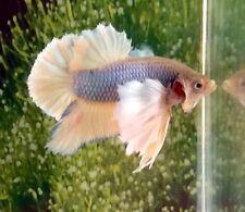 Thai Import Fancy Multicolor Male Dumbo Ears Halfmoon Plakat Betta Live Fish