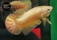 LIVE BETTA FISH BREEDING PAIR CLEAN SUPER GOLD HMPK READY TO BREEDING (SG1)