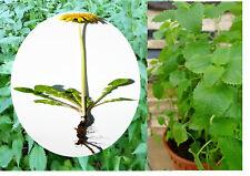 4 JUMBO TEAPOT Lemon Balm Nettle & Dandelion Root Teabags Herbal Urinary Allergy