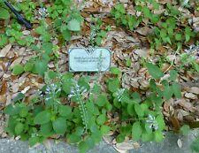 Heartleaf Skullcap (Scutellaria ovata subsp. bracteata) ✤ 100 Seeds