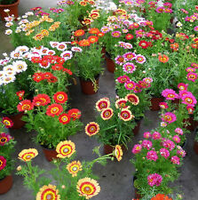 50 Colorful Chrysanthemum Seeds Chrysant Chrysanthemum Garden Flowers