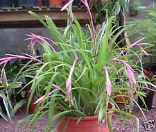 BROMELIAD BILLBERGIA NUTANS X 3 plants - Quality Offsets