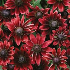 Rudbeckia hirta 'Cherry Brandy' / Award-winning annual / 30 Seeds