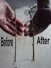 Aussie,Hybrid ,Salix,Willow,Tree,cuttings,TWIGS,30 pieces,BUY2 get 1 free
