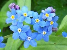 Water Forget-Me-Not Perennial Cold Tolerant Long Flowering Alaskan State Flower