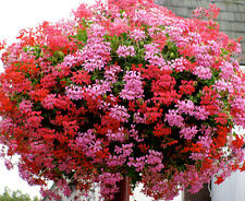 IVY LEAF GERANIUM MIX - Pelargonium peltatum - 5 Finest seeds - SOW TO MAY