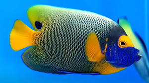 Blueface Angelfish - Pomacanthus Xanthometopon (Adult 10-12 Inches)