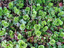 3 Saxifraga Umbrosa runners / offsets London Pride Alpines Groundcover Rockeries