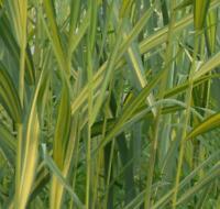 2 Pflanzen Wasserschwaden Teichpflanze Wasserschwaden Wasserreinigend  5