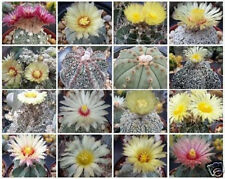 Astrophytum Variety MIX Exotic Cactus Collection @@ rare cacti seed lot 50 SEEDS