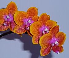 Phalaenopsis Autumn Sunrise NEW Duft Orchidee Orchideen