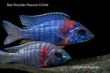 PICK 10: African Cichlid Starter Pack - Live Fish Malawi Victoria Peacock Mbuna