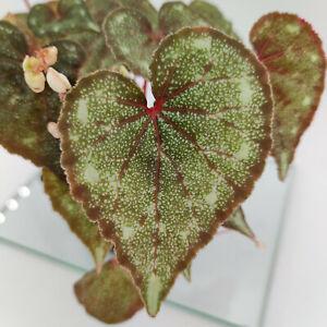 Begonia bataiensis - Begonie