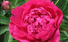 Peony/paeonia plant 'Kansas' 3/5 eyes bare roots Shipping Now