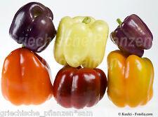 Paprika Mix 5 Sorten * 50 Samen * lila weiß gelb rot schwarz * Chili *Geschenk