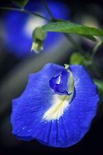 für drinnen: die wunderschöne blaue Schamblume - ein Gedicht !