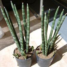 Sansevieria cylindrica rhizome Nice Snake Plant stunning Houseplant Exotic