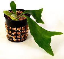"""New listing Staghorn Fern 3.25"""" pot - Exotic - Platycerium Easy Grow Gift Holiday Cute Plant"""