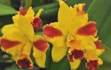 Blmg Size! Compact! Pot. Roy'S Magic ~Carmela~ Cattleya Mericlone Orchid Plant