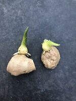 2 Fresh Cutting Sprouted Ginger Roots Live Plant Ready To Grow