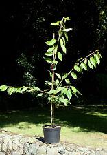 Süßkirsche Kirschbaum Kirsche Prunus avium 'Stella'  150 cm im Container