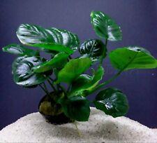 PLANT AQUARIUM: ANUBIA GOLDEN COIN
