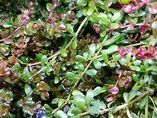 New listing Bacopa Monnieri Moneywort Freshwater Live Aquarium Plants 10 stalks Free Shippin