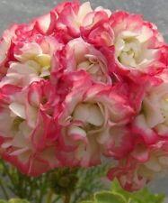 GERANIUM PELARGONIUM  APPLE BLOSSOM ROSEBUD PLANT $7   POSTAGE ANY 3 FOR $8.00