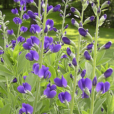 60 Blue Wild Indigo Wildflower Seeds - Everwilde Farms Mylar Seed Packet