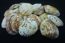 16 pce Beach Clam Sea Shells Beads Dyed  24mm to 29mm Tribal Jewellery Craft