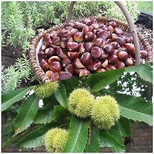 Bio Esskastanien Maronen 2 kg frisch unbehandelt Naturprodukt aus Eigem Garten