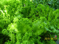 2000 Southern Giant Curled Mustard Greens Seeds NON-GMO Heirloom Gardening