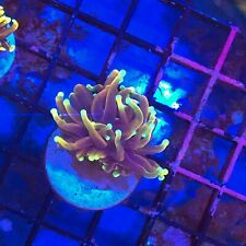 New listing Popcorals.com Holy Moly Torch!Wysiwyg - Free Shipping!