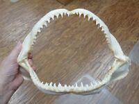 "SJ01-18G) 13"" COMMON BLACKTIP black tip SHARK jaw wide grade B jaws teeth"