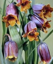 8 Bulbos Fritillaria Uva Vulpis Plantar Otoño Florecer Primavera Jardín